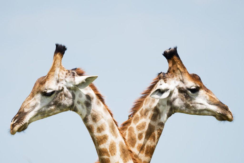 Divu žirafu galvas, kas katra vērsta uz savu pusi.
