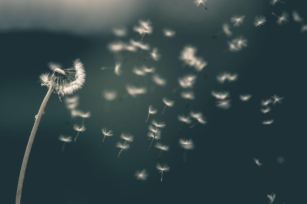 Gaisā lidojošas pienenes pūkas
